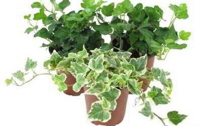 Растение плющ (Hedera)