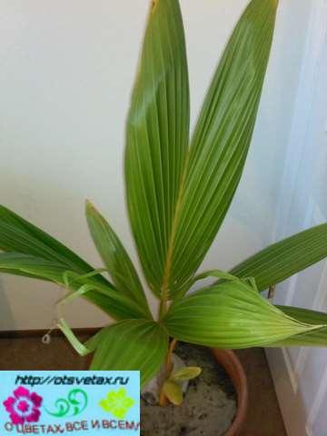 пальма из кокоса