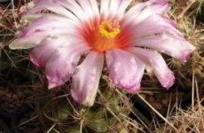 Телокактус биколор (thelocactus bicolor) описание, выращивание