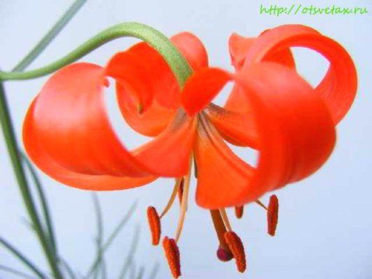 Лилия pumilum