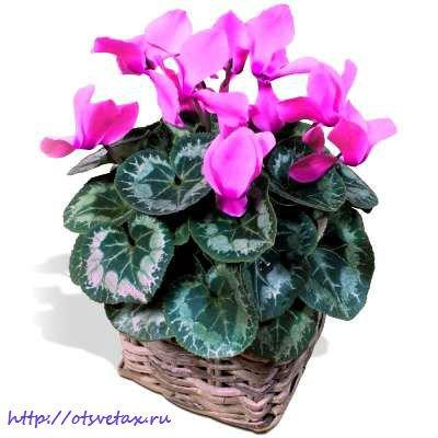 cyclamen-plante