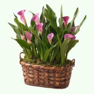 Каллы цветы комнатные выращивание и уход