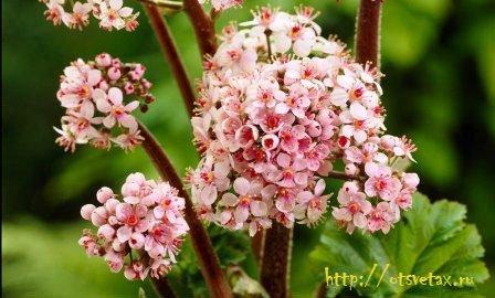 дармера растение