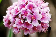 Дармера: выращивание и уход