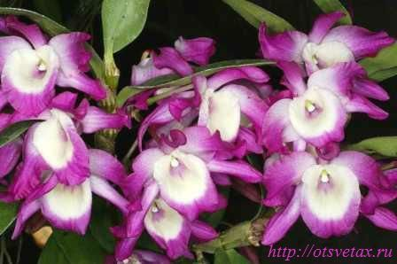 цветок дендробиум нобиле