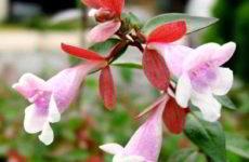 Абелия крупноцветковая уход в домашних условиях