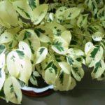 Светолюбивые вьющиеся комнатные растенификус бенджамина Старлайт фото