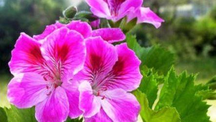Пеларгония – это герань? В чём сходство и различие этих растений