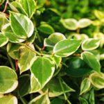 вьющиеся комнатные растения