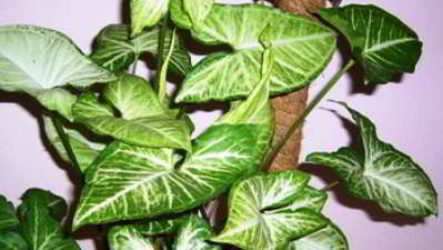 Фото и названия вьющихся светолюбивых декоративно-лиственных комнатных растений