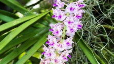 Орхидея эридес: как выращивать в домашних условиях