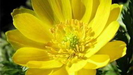 Как вырастить цветок адонис