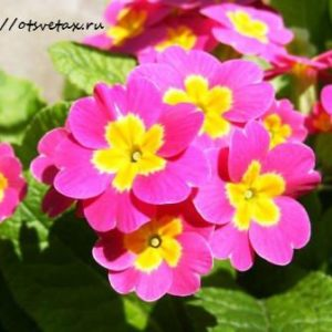 Цветы первоцветы в дизайне сада