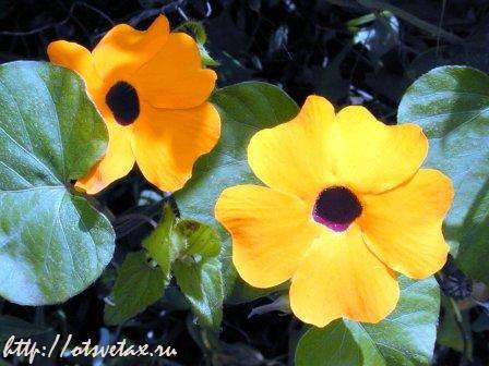 цветок тунбергия на балконе