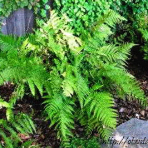Вудвардия (Woodwardia) уход, виды, фото