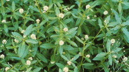 Выращиваем растение альтернантеру