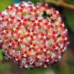 цветок хойя