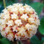 Hoya crassicaulis umbel