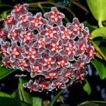 Hoya pubicalyx «Черный дракон»
