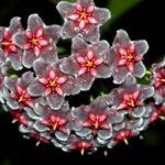 Hoya pubicorolla