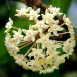Hoya surigaoensis