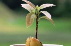 Авокадо – как вырастить из косточки, чтобы были плоды в доме