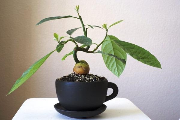 вырастить авокадо из косточки в домашних условиях
