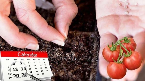 Kogda-seyat-tomaty-na-rassadu-v-2019