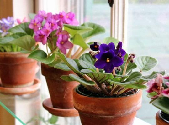 цветы фиалки в горшках