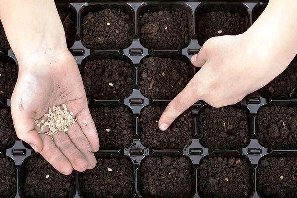 когда сеять семена помидор в 2019