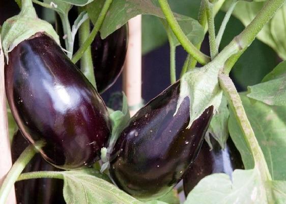 баклажаны фото овощей