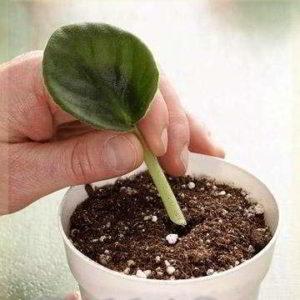 Фиалка: размножение листом в домашних условиях