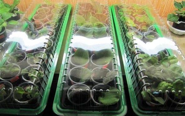 листья фиалок в теплицах для размножения