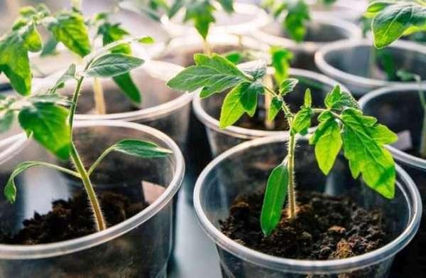посадить семена помидор на рассаду в 2019 году