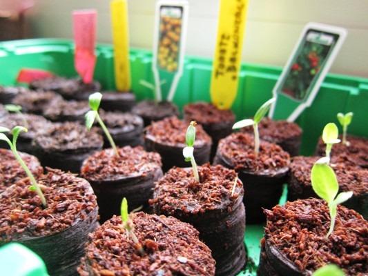 посадка семян помидор в торфяные таблетки