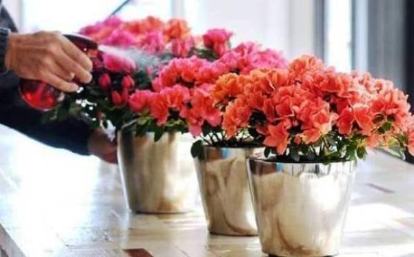 орошение цветов азалий после покупки