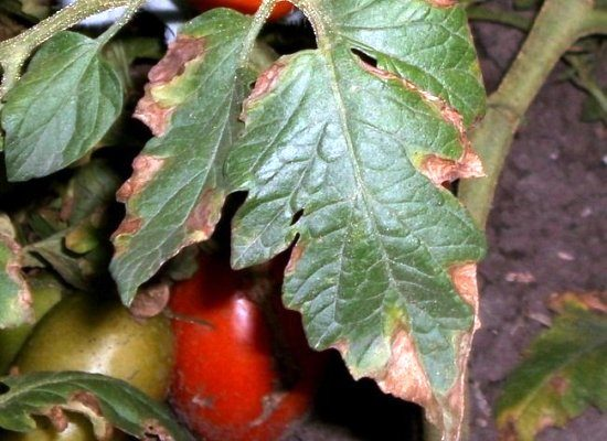 болезни томатов альтернариоз сухая гниль