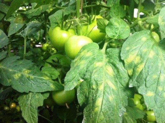 кладоспориоз (оливковая пятнистость) болезнь рассады томатов