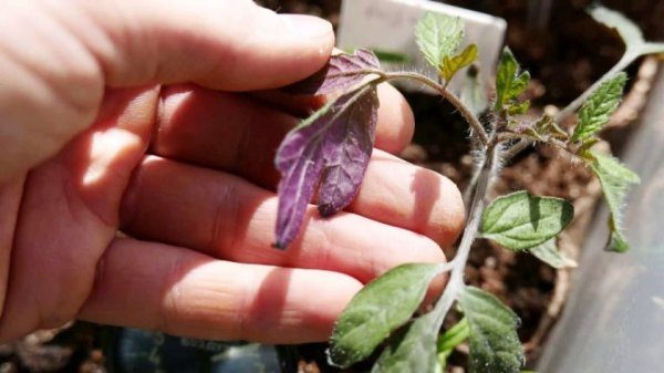 столбур заболевание рассады помидоров