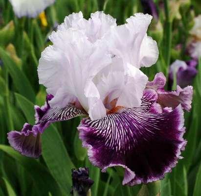ирис бородатый фото цветка