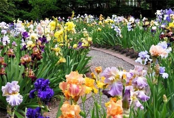 цветы ирисы в садовом дизайне