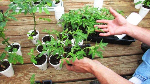 рассада томатов выращивание и уход