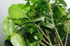 Размножение азалии в домашних условиях, способы, фото