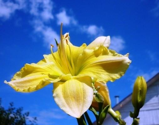 желтые сорта лилейников названия