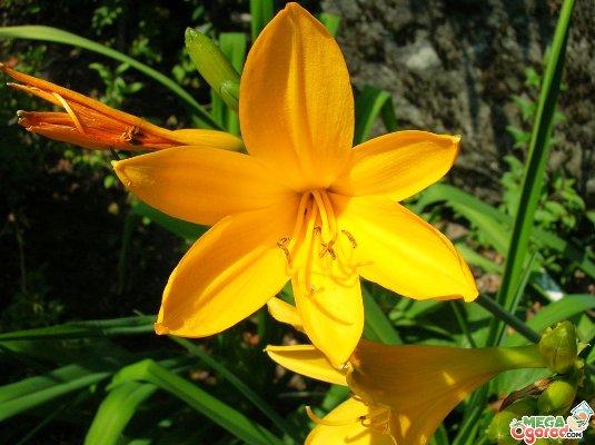лилейники желтые сорта с фото и названиями