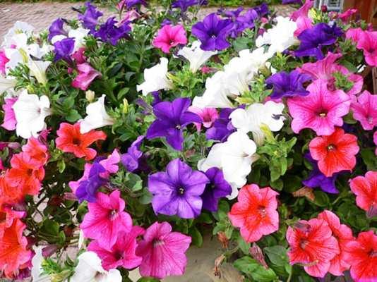 пышно цветущая петуния после прищипывания