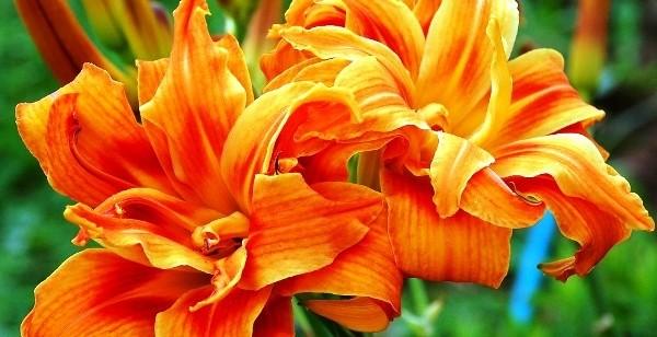классификация лилейников фиды и сорта