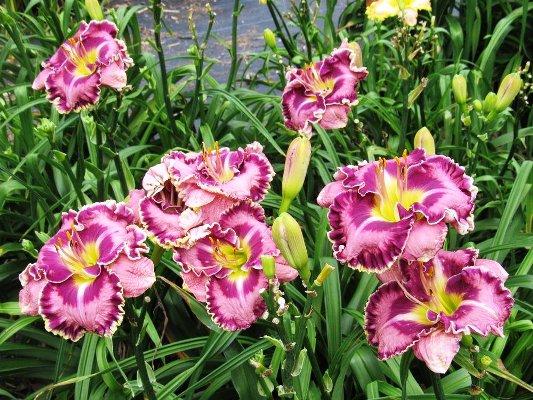 необычные сорта лилейников