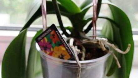 Почему вянут листья у орхидеи причины, что нужно делать