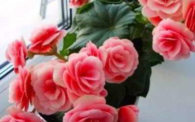 Уход за бегонией вечноцветущей в домашних условиях